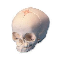 Fetal Skull Models