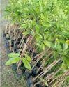 Sitafal Plants