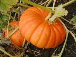Red Pumpkin - Amar Keshar (Hybrid)