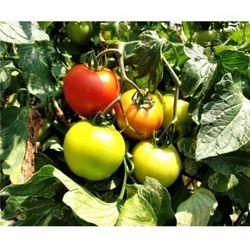 Hybrid Tomato Seeds TM - 1030