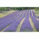 Fress Lavender Aroma Oil
