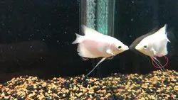 White Giant Gourami Fish, 10 Years, Size: 2 To 3 Inch