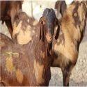 Sirohi Goats