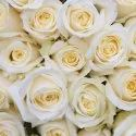 White Dutch Rose