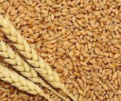 Indian Brown Wheat