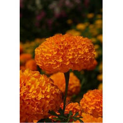Marigold Flower Seeds MG- 25