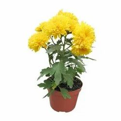 Well Watered Chrysanthemum Plant