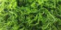 Algae Source DHA Oil