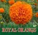 Royal Orange F-1 Hybrid Marigold Seeds