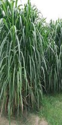 Napier Grass, For GREEN FODDER