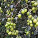 Apple Ber Plants