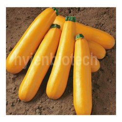 Hyjen Biotech Yellow HB-Shella 05 Zuchhini Seeds, Packaging Type: Pouch Packaging, Packaging Size: 50 Gm