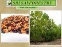 Acacia Arabica Seeds