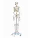 Life Size Skeleton Models 180 cms.