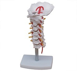 Cervical Vertebral Column With Neck Artery Model