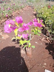 Bougainvillea Decorate Plant