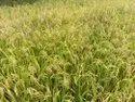 Ajinkya High Yielding Variety Hybrid Bajra Akash-109