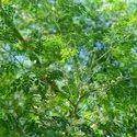 Drumstick Tree Seed