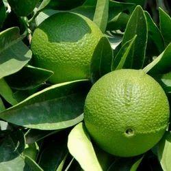 Lime Fragrance
