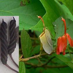 Helicteres Isora种子