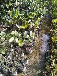 Hybrid A Grade Jackfruit plant kathal