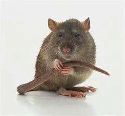 Rat Kill Service
