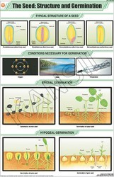 The Seed : Structure & Germination For Botany Chart