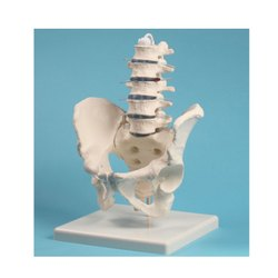 Human Male Pelvis with Lumbar Vertebrae Models