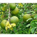 Horticultural Impex Aegle Marmelos, Pack Size: 1 Kg