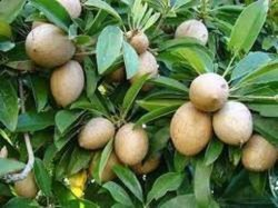 SAPOTA FRUITS PLANTS
