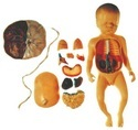 Fetus with Viscus and Placenta Model