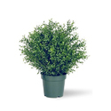Argentea Plant