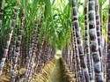 Super Absorbent Polymer For Sugarcane