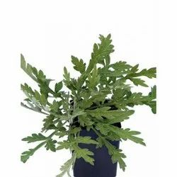 Well Watered Green Artemisia Plant