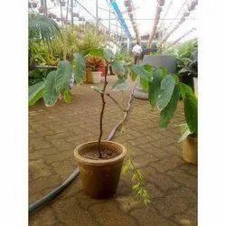 Amherstia Nobilis Plant