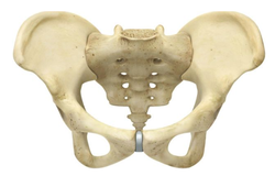 Adult Pelvis With Muscles And Organs Anatomy Model