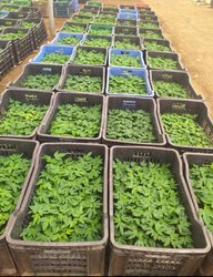 Red Lady 786 F1 Hybrid Papaya Plant