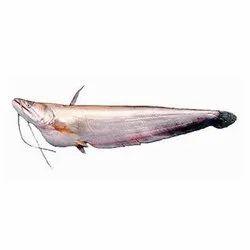 Fresh Bowal Fish for Restaurants