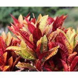 Crotons Plant