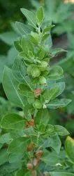 Ashwagandha Leaf Powder