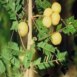 Phyllanthus Niruri Extract