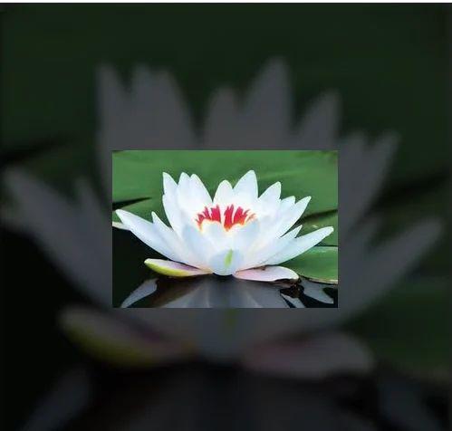 Lotus Flowers Crazy Flora Exporter In Wilson Garden Bengaluru
