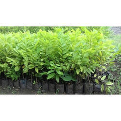 Sugar Apple Plant