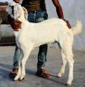 White Sojat Goat