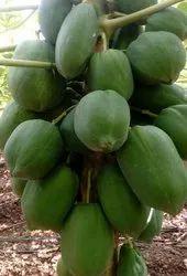 Hybrid Dwarf Papaya Seed