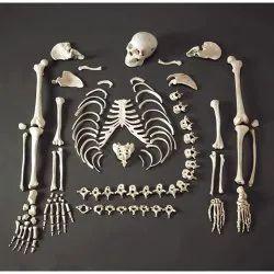 Kay Kay Disarticulated Human Skeleton