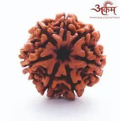ARKAM Seven Mukhi Rudraksha Nepali