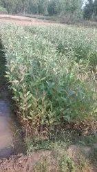 Eucalyptus Seedling ordinary