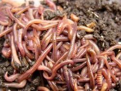 Live Earth Worms