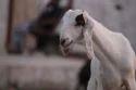 Sojat Breed Goat